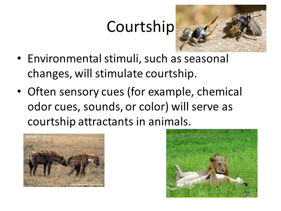 Courtship Environmental stimuli, such as seasonal changes, will stimulate courtship.