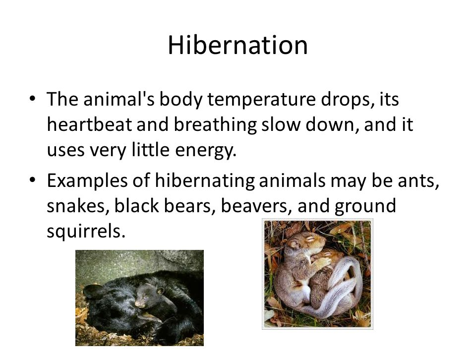 Hibernation The animal s body temperature drops, its heartbeat and breathing slow down, and it uses very little energy.