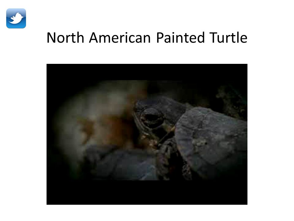 North American Painted Turtle