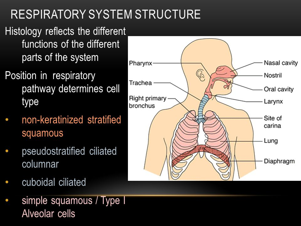 Respiratory System Structure