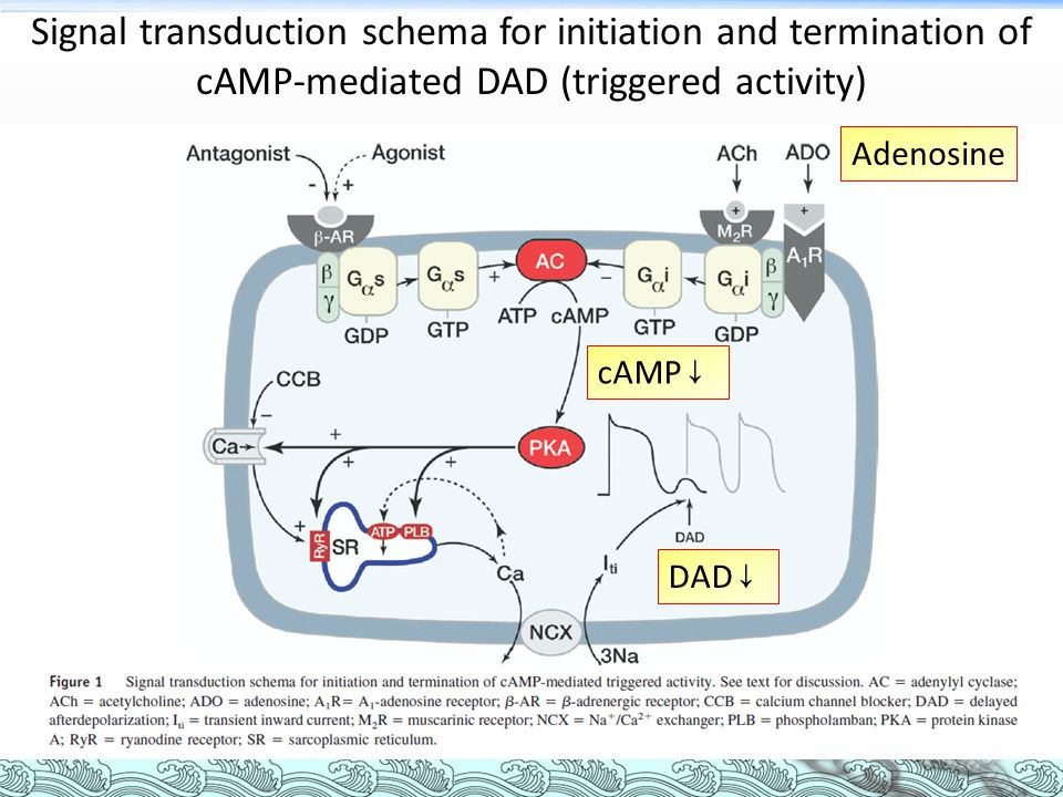 Signal transduction schema for initiation and termination of cAMP-mediated DAD (triggered activity)