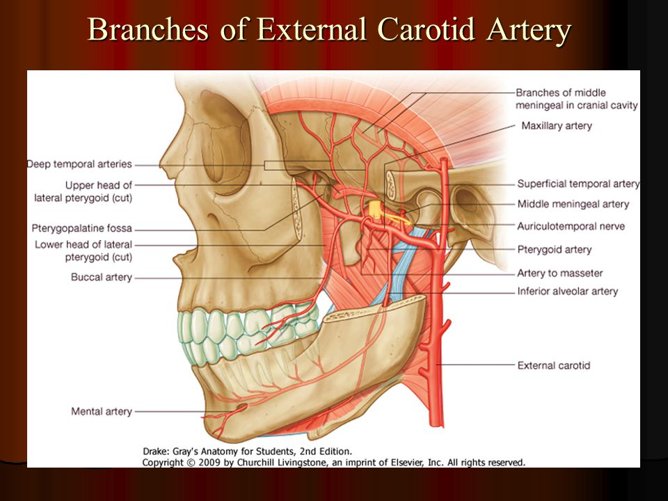 Branches of External Carotid Artery