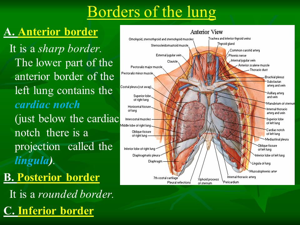 Borders of the lung