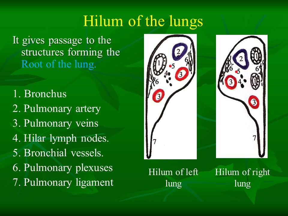 Hilum of the lungs