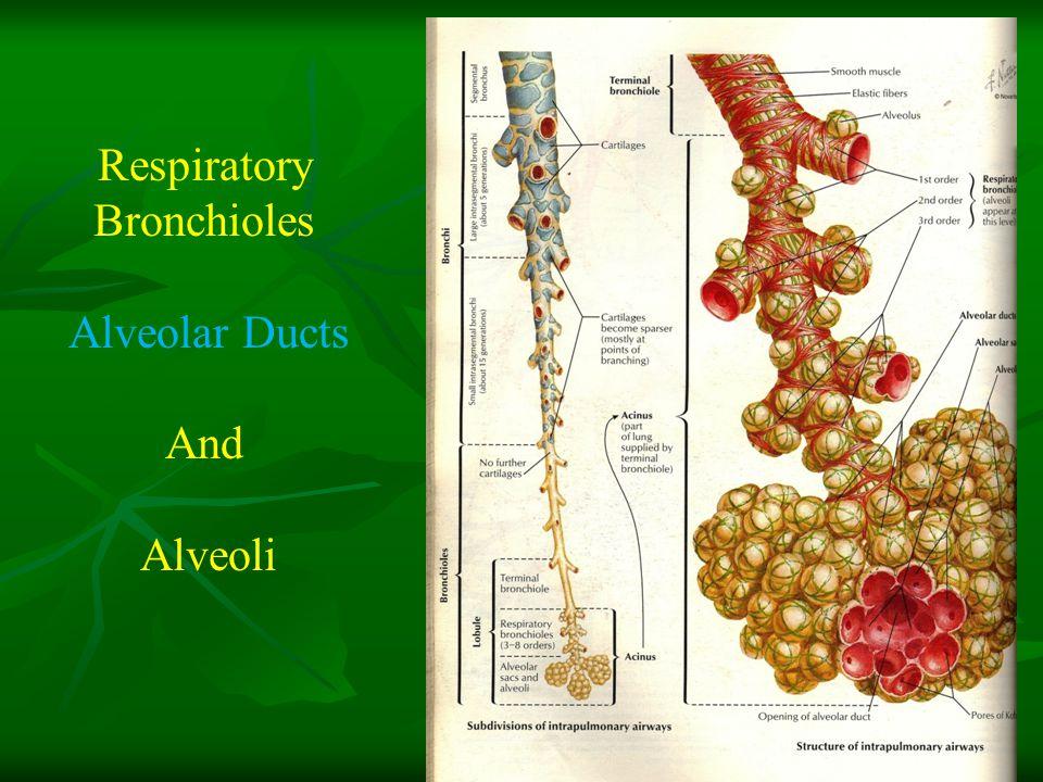 Respiratory Bronchioles