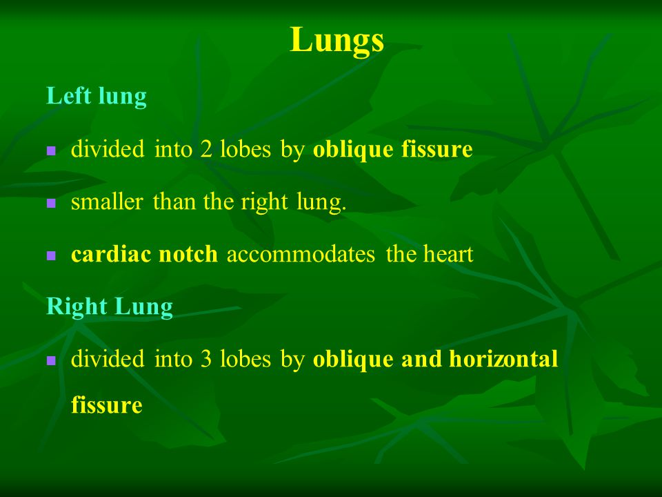 Lungs Left lung divided into 2 lobes by oblique fissure