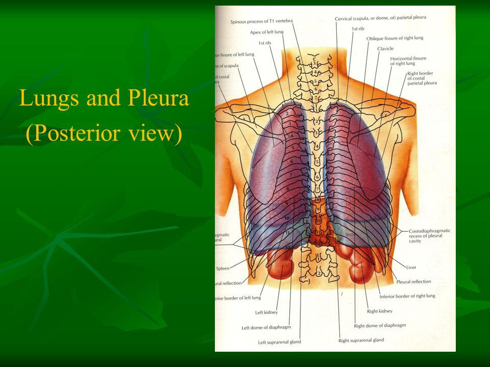 Lungs and Pleura (Posterior view)