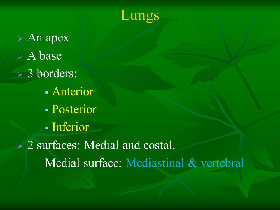 Lungs An apex A base 3 borders: Anterior Posterior Inferior