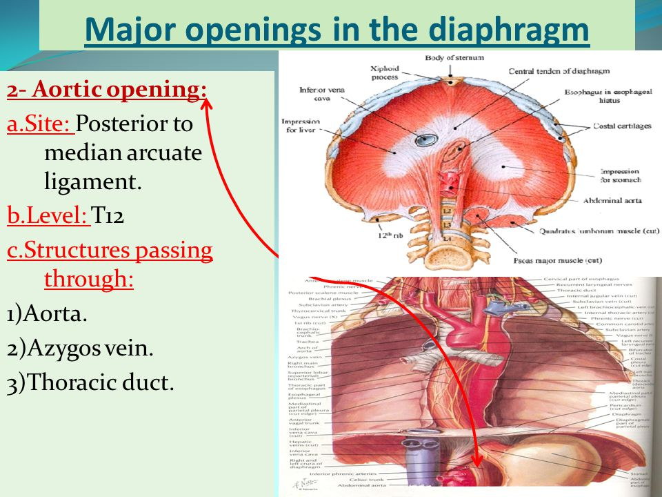 Major openings in the diaphragm
