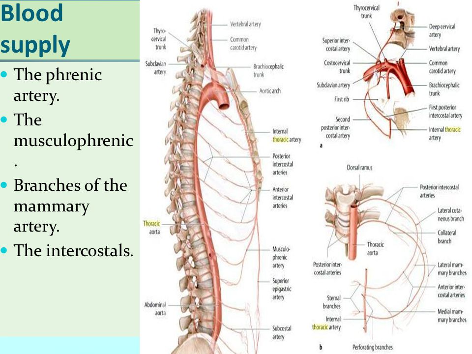Blood supply The phrenic artery. The musculophrenic.