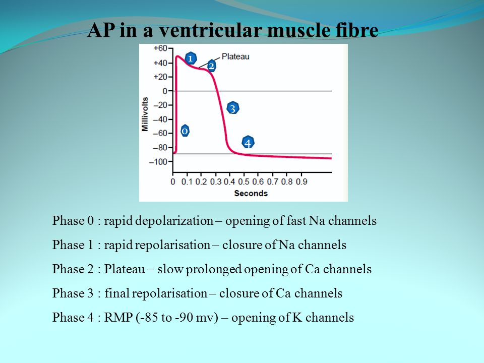 AP in a ventricular muscle fibre