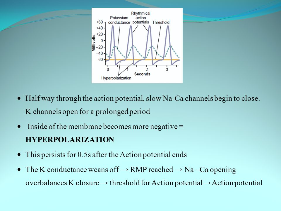 Half way through the action potential, slow Na-Ca channels begin to close. K channels open for a prolonged period