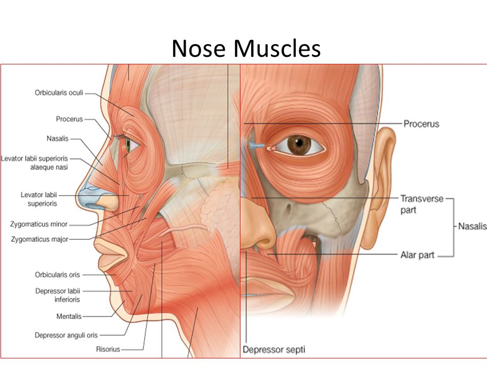 Nose Muscles