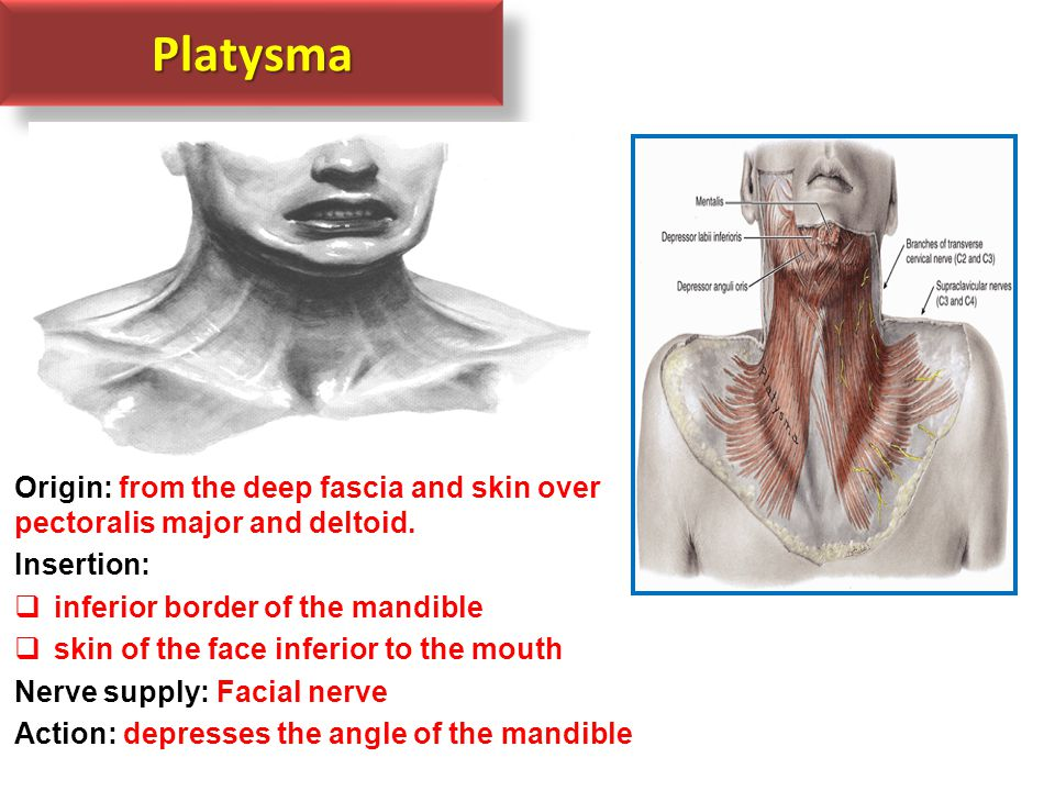 Platysma Origin: from the deep fascia and skin over pectoralis major and deltoid. Insertion: inferior border of the mandible.