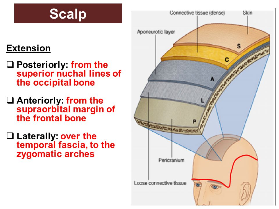 Scalp Extension. Posteriorly: from the superior nuchal lines of the occipital bone. Anteriorly: from the supraorbital margin of the frontal bone.