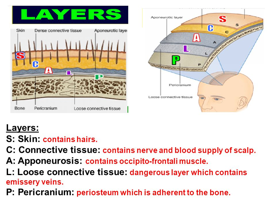 Layers: S: Skin: contains hairs. C: Connective tissue: contains nerve and blood supply of scalp.