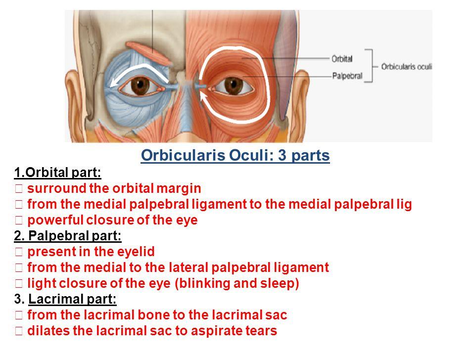 Orbicularis Oculi: 3 parts