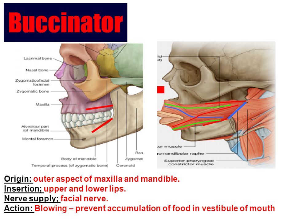 Origin: outer aspect of maxilla and mandible.
