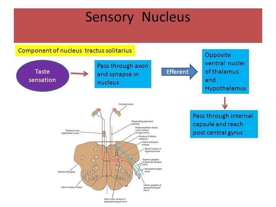 Sensory Nucleus Component of nucleus tractus solitarius