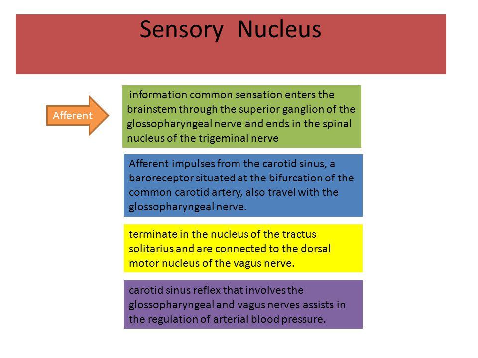Sensory Nucleus Afferent.