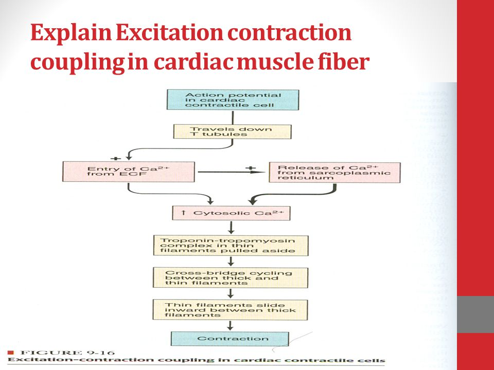 Explain Excitation contraction coupling in cardiac muscle fiber