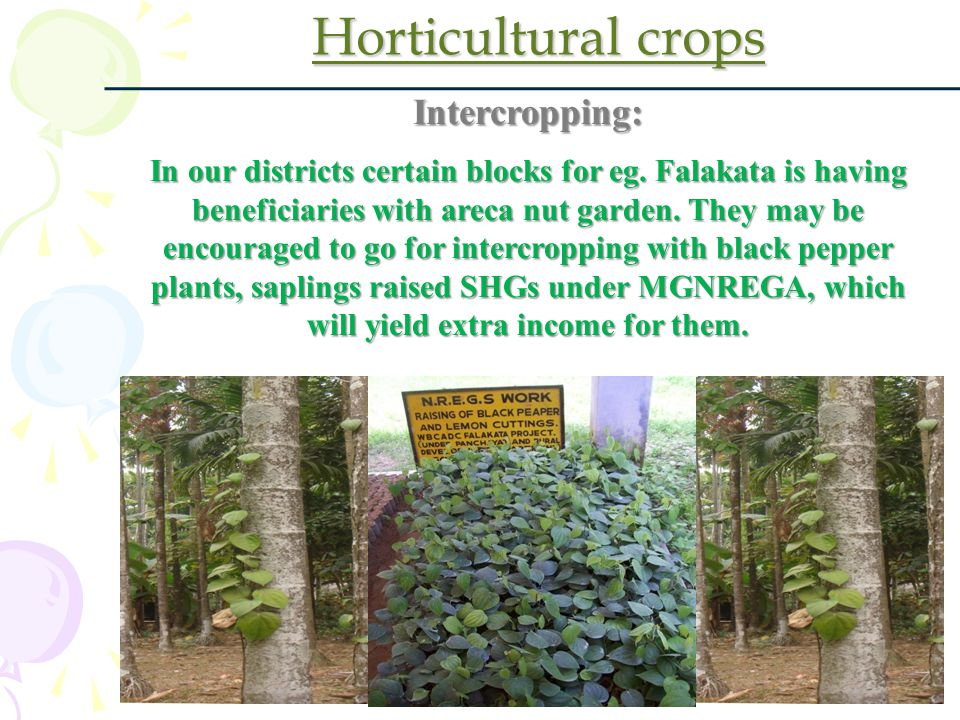 Horticultural crops Intercropping: