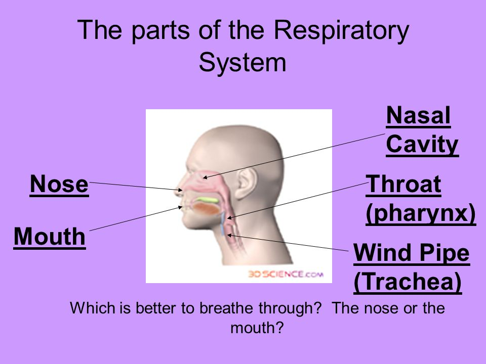 The parts of the Respiratory System