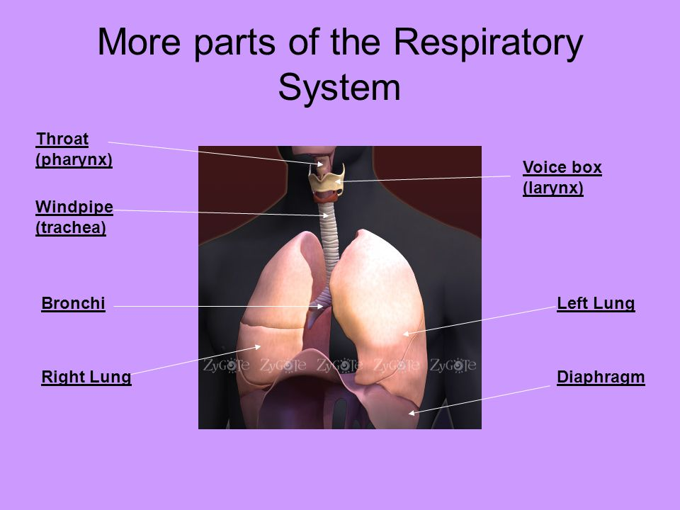 More parts of the Respiratory System