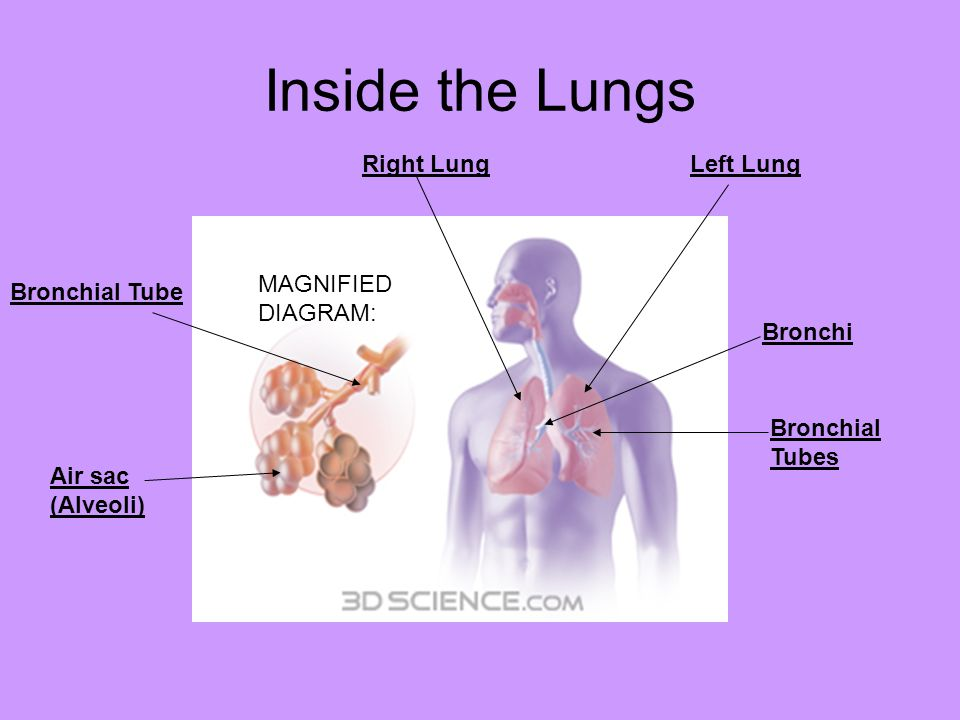 Inside the Lungs Right Lung Left Lung MAGNIFIEDDIAGRAM: Bronchial Tube
