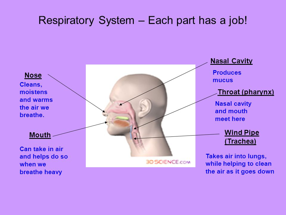 Respiratory System – Each part has a job!