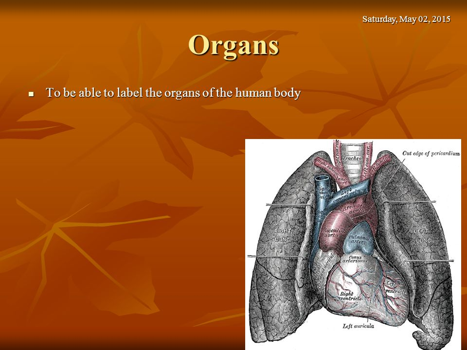 Organs To be able to label the organs of the human body