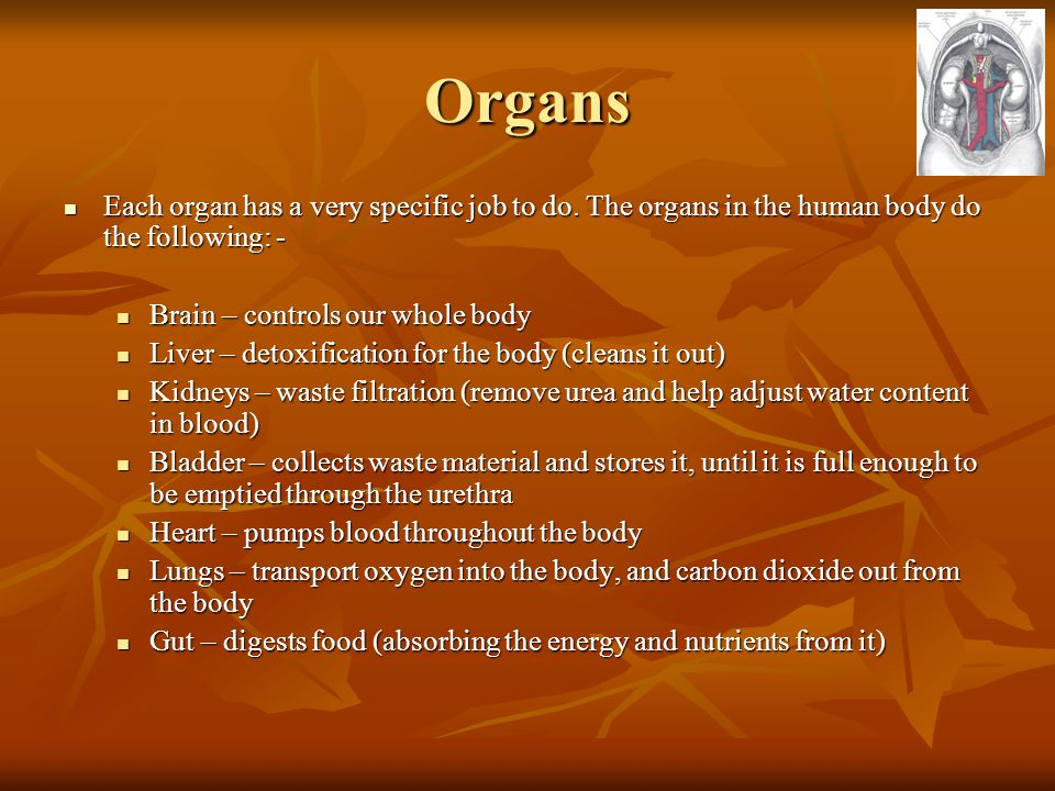Organs Each organ has a very specific job to do. The organs in the human body do the following: - Brain – controls our whole body.