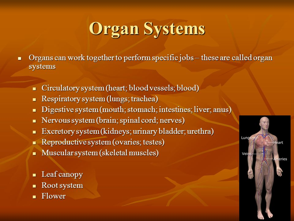 Organ Systems Organs can work together to perform specific jobs – these are called organ systems. Circulatory system (heart; blood vessels; blood)