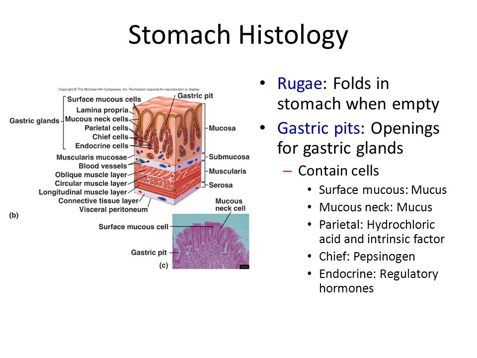 Stomach Histology Rugae: Folds in stomach when empty