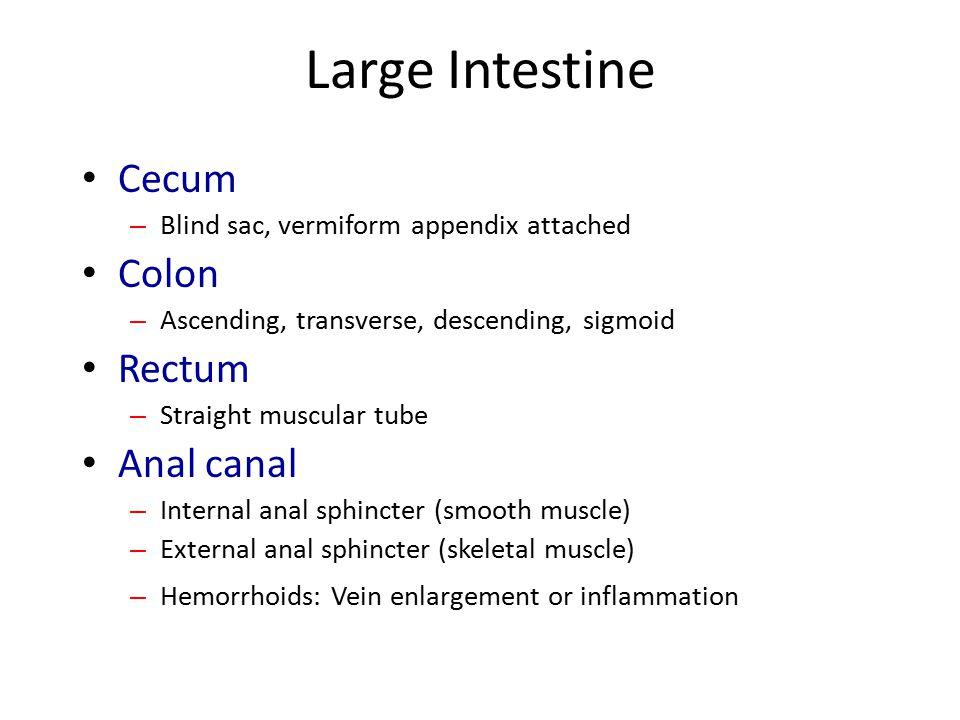 Large Intestine Cecum Colon Rectum Anal canal