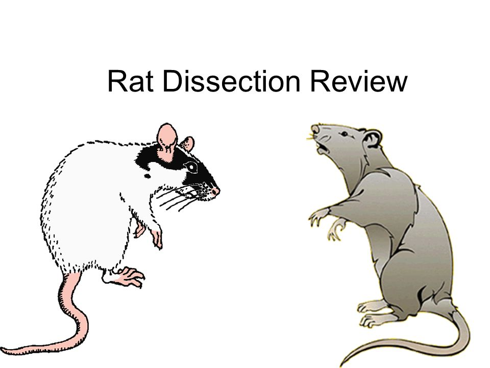 What is the largest organ in the rats anatomy