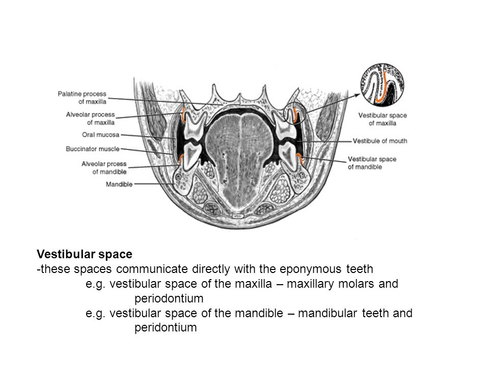 Vestibular space -these spaces communicate directly with the eponymous teeth. e.g. vestibular space of the maxilla – maxillary molars and.