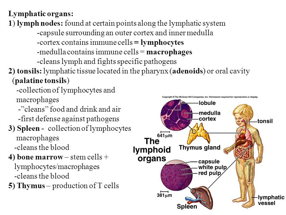 Lymphatic organs: 1) lymph nodes: found at certain points along the lymphatic system. -capsule surrounding an outer cortex and inner medulla.