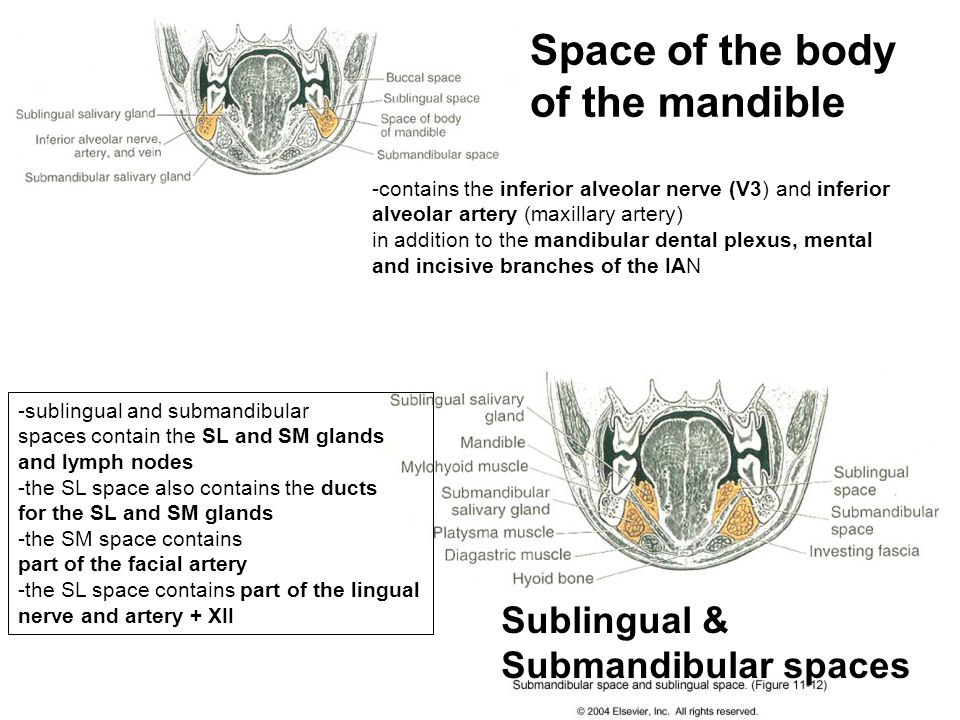 Space of the body of the mandible Sublingual & Submandibular spaces