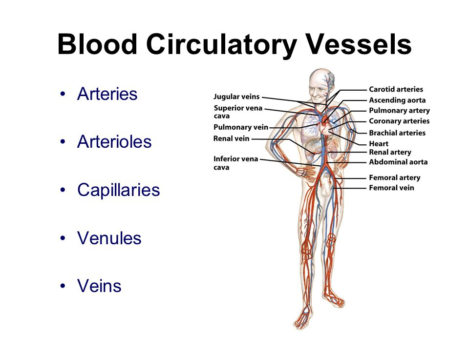 Blood Circulatory Vessels