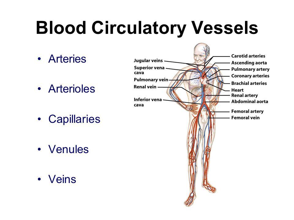 Blood Circulatory Vessels