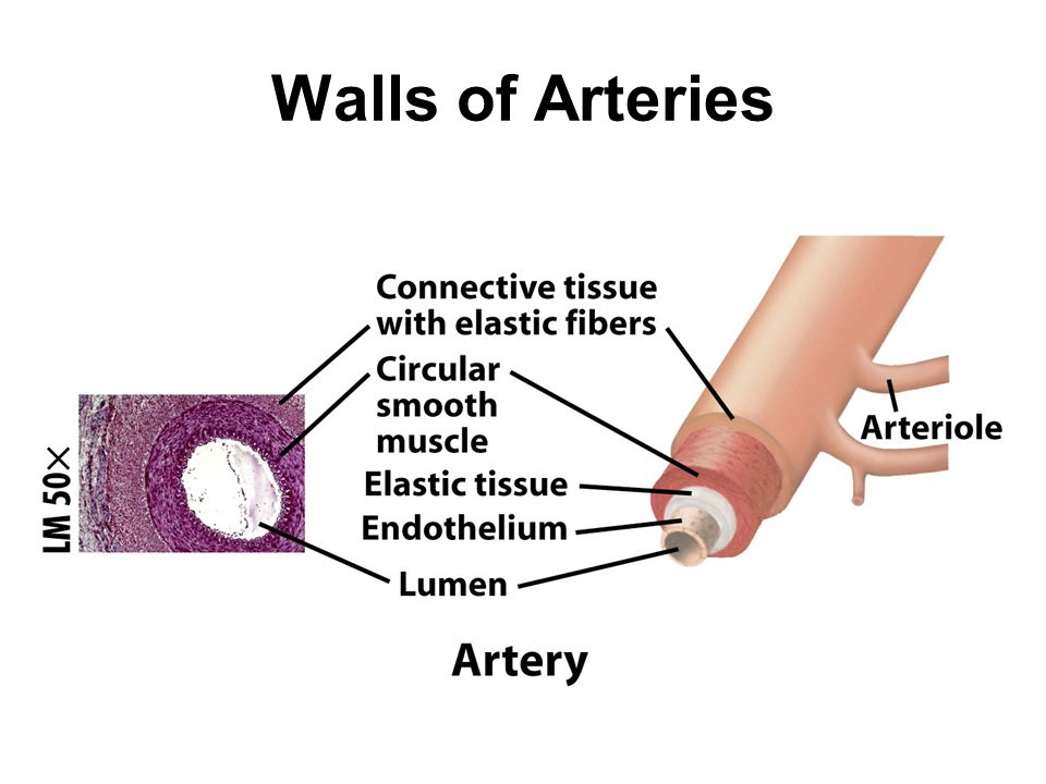 Walls of Arteries