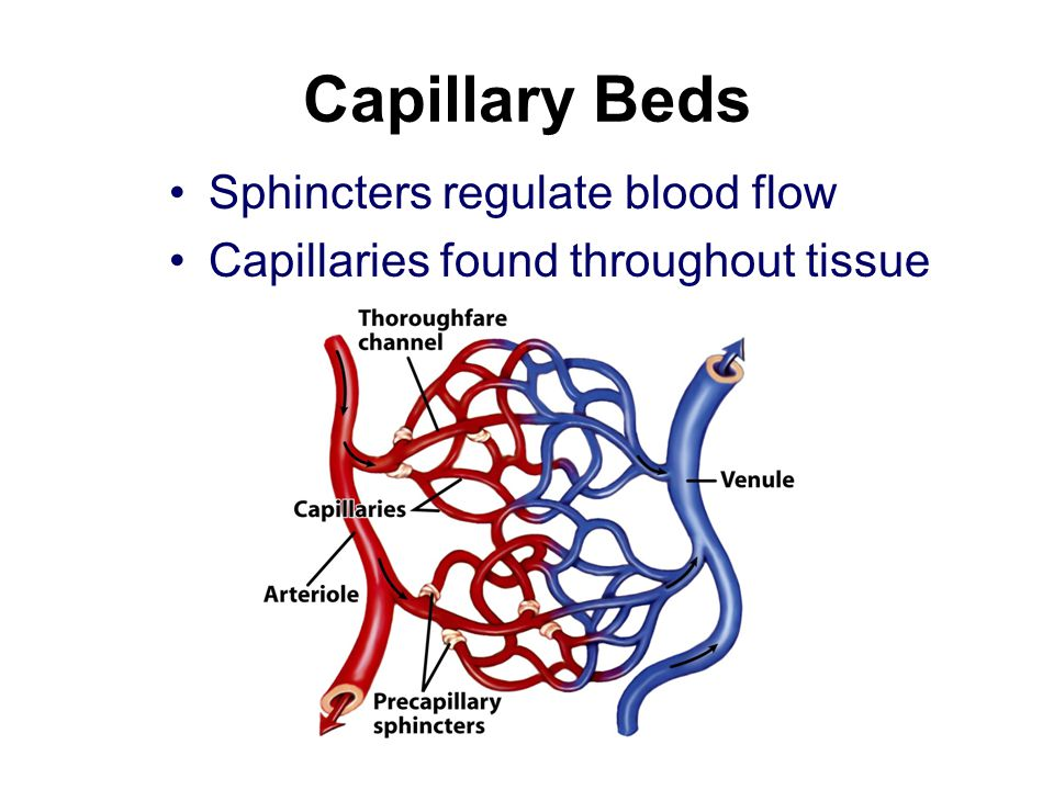 Capillary Beds Sphincters regulate blood flow