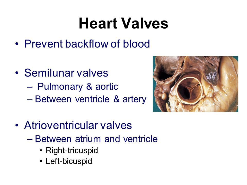 Heart Valves Prevent backflow of blood Semilunar valves