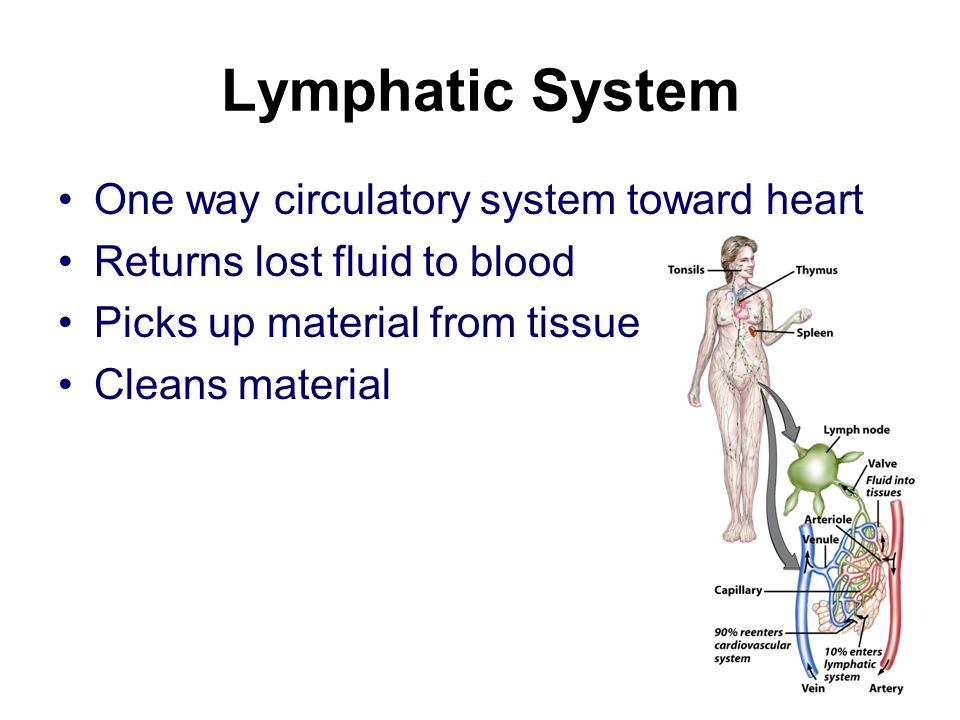 Lymphatic System One way circulatory system toward heart