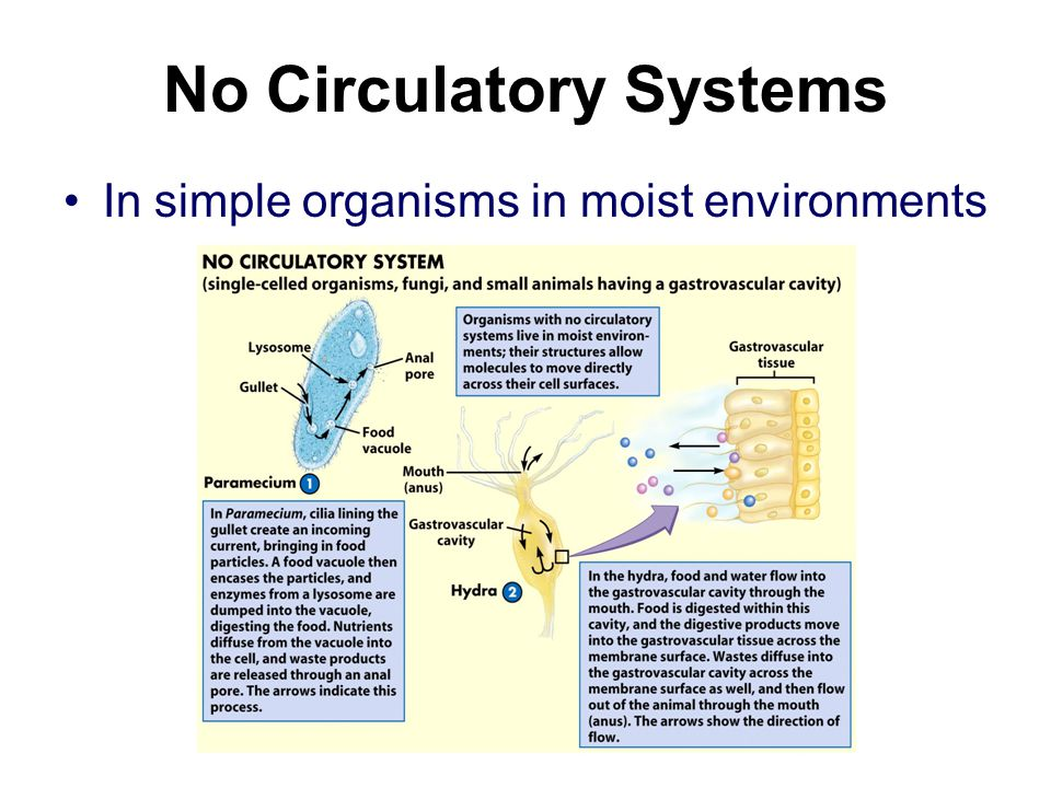 No Circulatory Systems