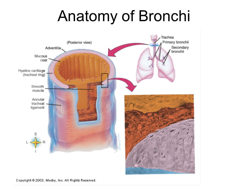 Anatomy of Bronchi