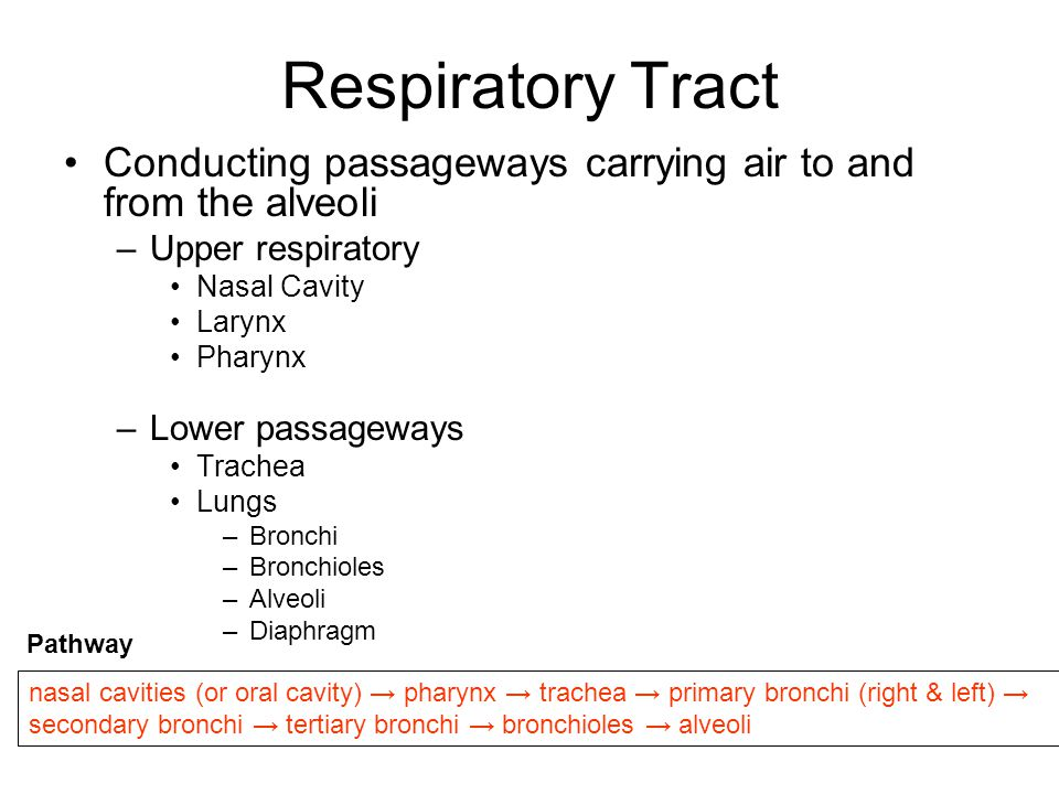 Respiratory Tract Conducting passageways carrying air to and from the alveoli. Upper respiratory. Nasal Cavity.