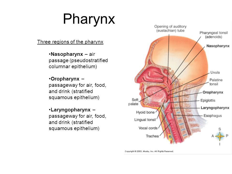 Pharynx Three regions of the pharynx