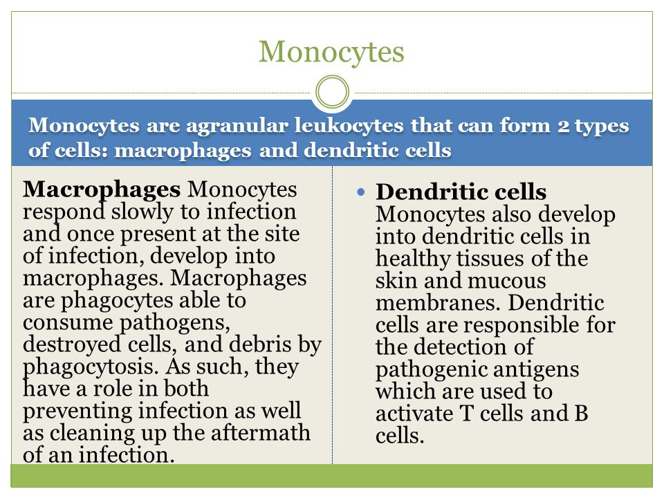 Monocytes Monocytes are agranular leukocytes that can form 2 types of cells: macrophages and dendritic cells.